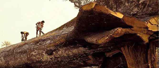 Madeireiros cortam acidentalmente a árvore mais antiga do mundo na Amazônia