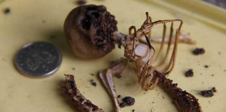 O micro esqueleto descoberto na floresta: Esqueleto de uma fada?