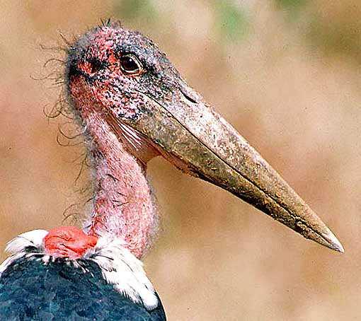 Top 10 das aves mais feias do mundo