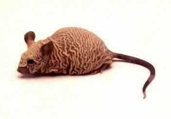O rato rinoceronte