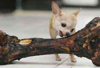 O menor cachorro do mundo II