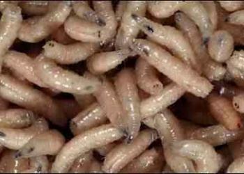Mendigão russo limpa sua perna infestada de vermes