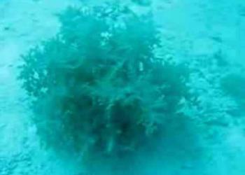 A alga do Mister M