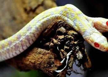 A cobra albina de duas cabeças