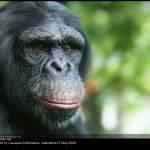 Chimpanzé 3d