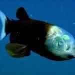 O fenomenal peixe da cabeça transparente
