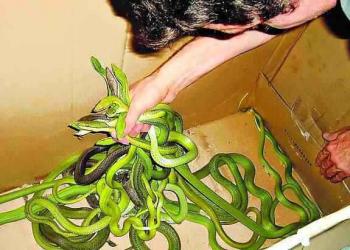 Homem é preso carregando mais de 600 cobras num ônibus