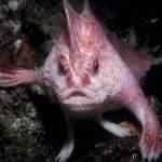 Descoberto um bizarro peixe com mãos