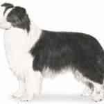 Cachorro – as raças mais inteligentes