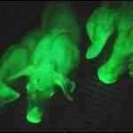Porquinhos fluorescentes