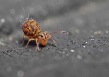 O inseto que não é inseto