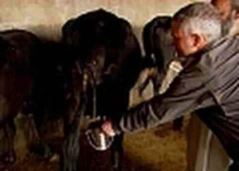 Receita para viver muito: Beber urina de vaca?