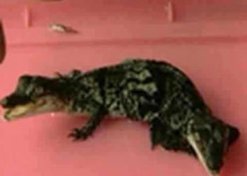 Crocodilos siameses