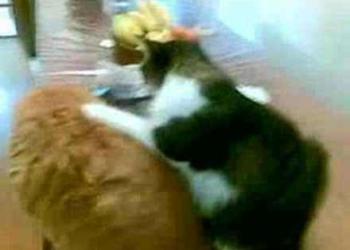 Gato massagista