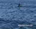 Orca caçando um golfinho