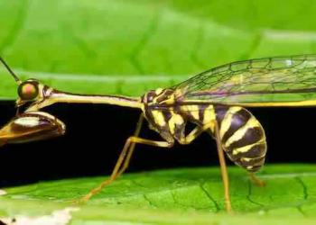 A vespa louva-deus e outras vespas bizarras