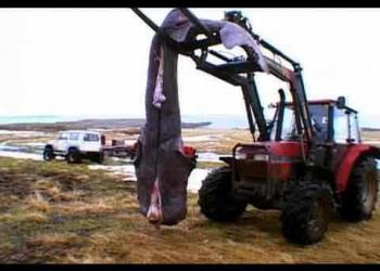 Rangão profissa: Tubarão podre