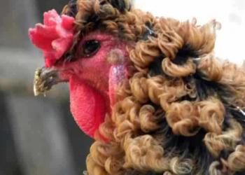 A galinha pixaím