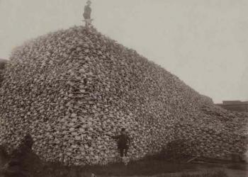 Crânios de bisão