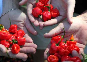 Qual é e onde comprar a pimenta mais forte e ardida do mundo