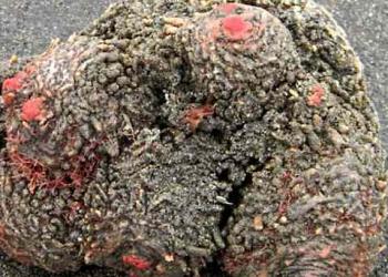 Pedra com tripas: O bicho mais bizarro do mundo?