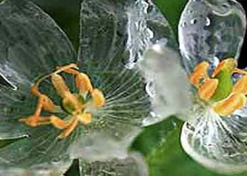 Diphylleia grayi – a flor das pétalas de vidro