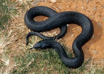 Incríveis animais pretos