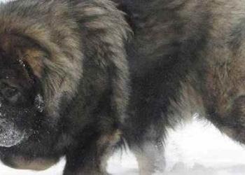 O cão-urso da Rússia
