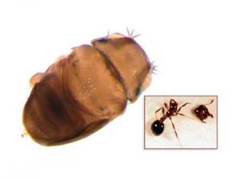 Bicho bizarro: A mosca que decapita formigas