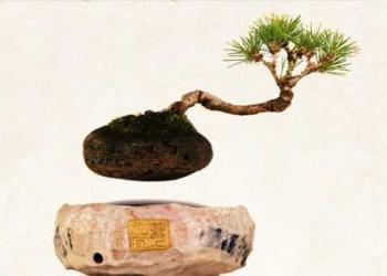 Air Bonsai: O Bonsai que levita