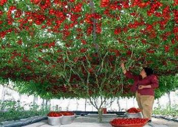 Isso que é produtividade: Conheça a arvore que está dando mais de 32.000 tomates de uma só vez!