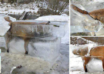 O bizarro caso da raposa congelada