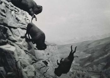 Foto gump do dia: Bisões em queda