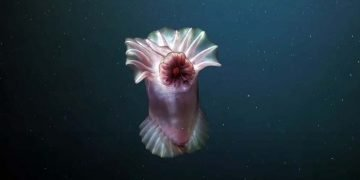 Fascinantes animais das altas profundidades registrados em video 4K