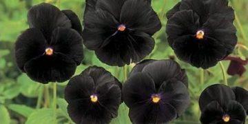 15 Flores pretas incríveis