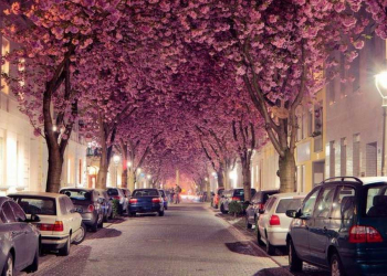 Foto gump do dia: Cherry Bloom Avenue