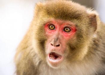 Macacos ladrões de Bali estão se especializando