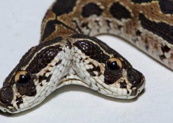 Cobra venenosa de duas cabeças surge na Índia